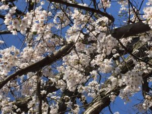 cherry blossoms April 17